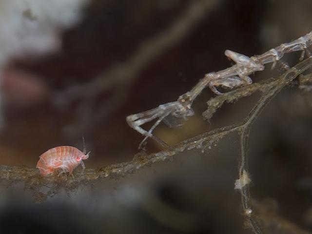 Caprella linearis Skeleton Shrimp Caprella