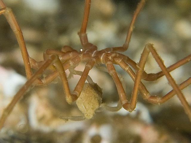 Sea spider - photo#28