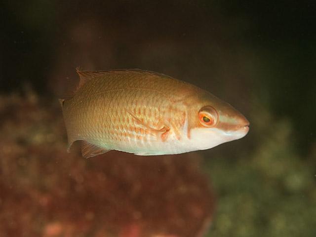 Image of: Animal Kingdom Kingdom Animalia Lovekidclub Perchlike Fish Perciformes
