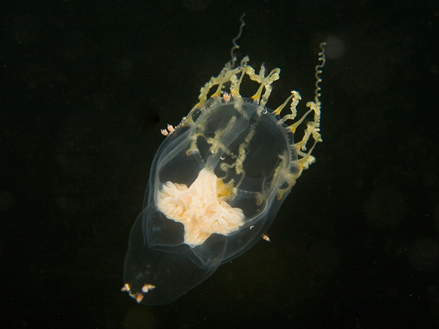Introduction to the Hydrozoa