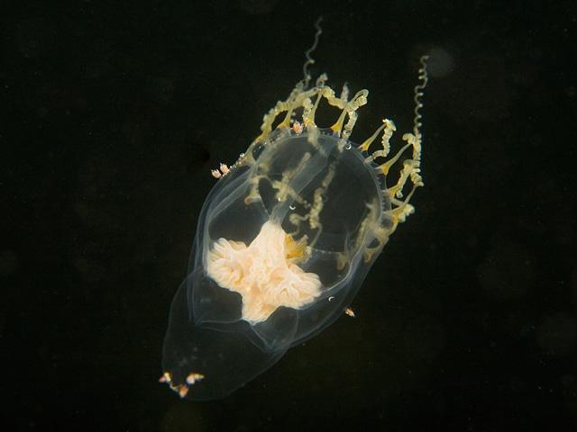 Hydrozoans - Hydrozoa