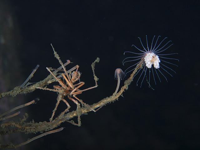 Tall Tubularia - Tubularia indivisa