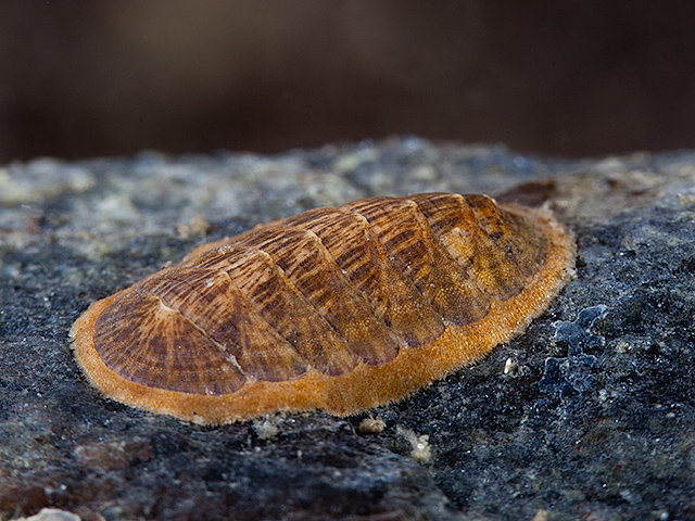 polyplacophora chitons polyplacophora