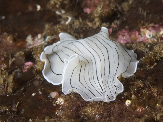 Flatworms Platyhelminthes
